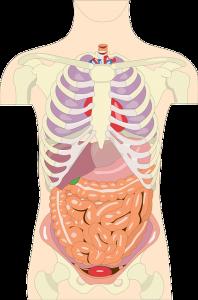 la digestión, dormir y beber agua adelgaza
